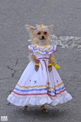 Cute dog dressed in traditional Colombian country dress at the Silleteros Parade at the Medellin flower festival